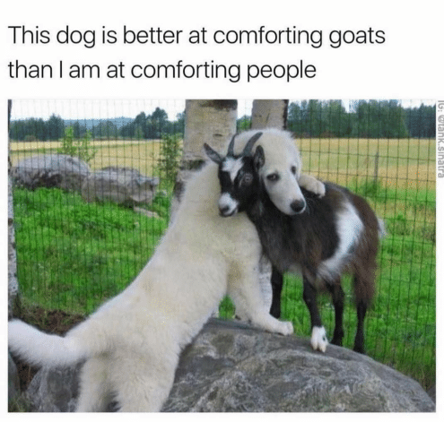 this-dog-is-better-at-comforting-goats-than-i-am-16610736.png
