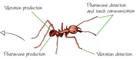 leaf-cutter-ant-communication2